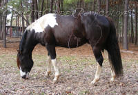 APHA Paint Horses for sale